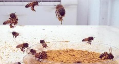 bees collecting pollen during an experiment